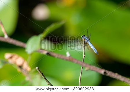 A Blue Dasher (pachydiplax Longipennis) Dragonfly Of The Skimmer Family, Sits On Top Of A Twig With