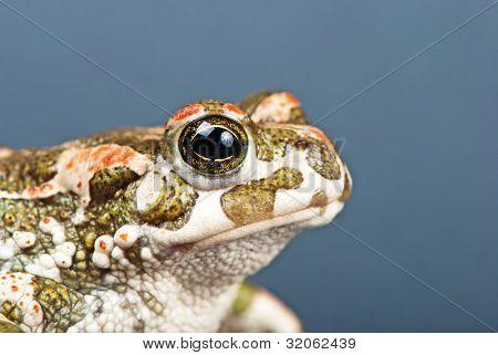 Bufo viridis. Green toad on gray background. Studio shot.