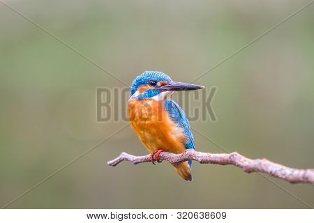 Kingfisher (alcedo Atthis) Common Kingfisher On Branch In Thailland