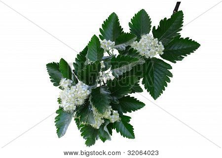 The Flowers Branch Of Rowan With Leaves