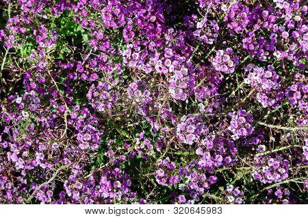Purple Sweet Alyssum In The Garden, Lobularia Maritima.