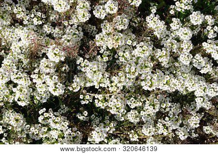 White Sweet Alyssum In The Garden, Lobularia Maritima.