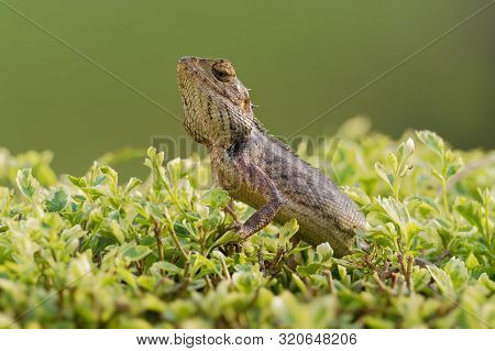 Oriental Garden Lizard - Calotes Versicolor Or Eastern Garden Lizard, Bloodsucker Or Changeable Liza
