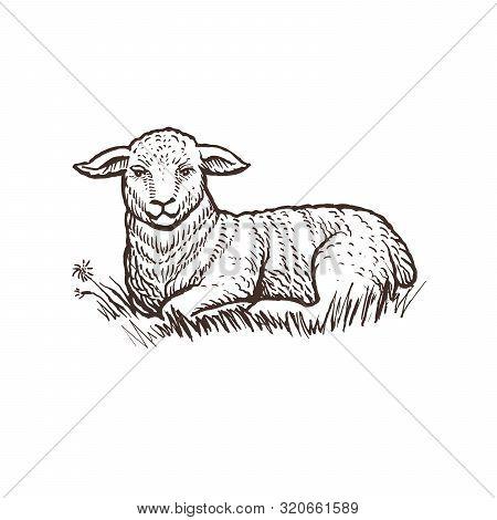 Lamb Farm Animal Sketch, Isolated Lamb Mammal On The White Background. Vintage Style. Vector Illustr