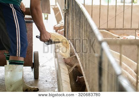 Farmers Are Pouring Bran To Pigs In An Organic Pig Farm. Rural Livestock, Farmers Are Feeding Pigs.