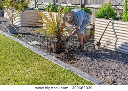 An Active Senior Male Retiree Working In His Garden Replanting A Pineapple Plant On A Sunny Spring M