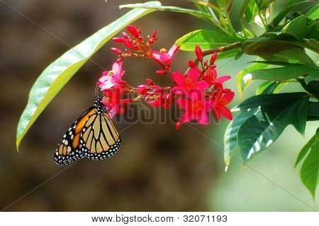 monarch butterfly inspecting a blossom