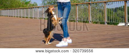 Brunette woman trains a dog to stand on hind paws, motivating food. Funny spaniel mutt in summer day poster