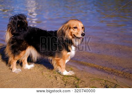 Dog Walking On A Sand River Beach. Funny Spaniel Mutt In Summer Day