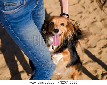 Dog Walking On A Sand Beach. Funny Spaniel Mutt Hugs Owners Legs In Summer Day