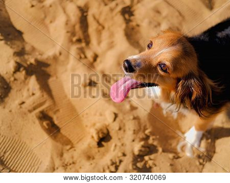 Dog Walking On A Sand Beach. Funny Spaniel Mutt In Summer Day