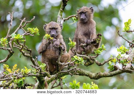 Chacma Baboon, Papio Ursinus, Also Known As The Cape Baboon Feeding On Top Of The Tree. Chackma Is S