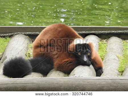 Red-ruffed Lemur Relaxing , Copy Space Above And Below,