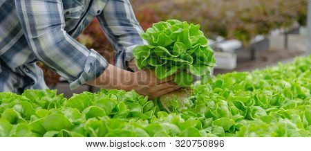 Website Banner. Young Man Farmer Checking Fresh Green Oak Lettuce Salad, Organic Hydroponic Vegetabl