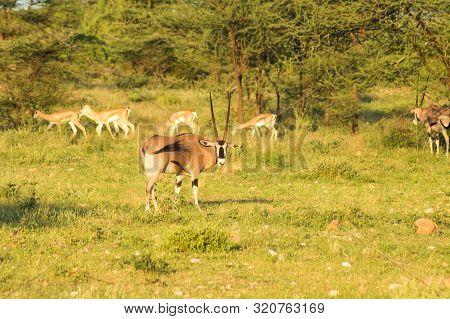 Orix With Impalas In The Savannah Of Samburu Park In Central Kenya In Africa