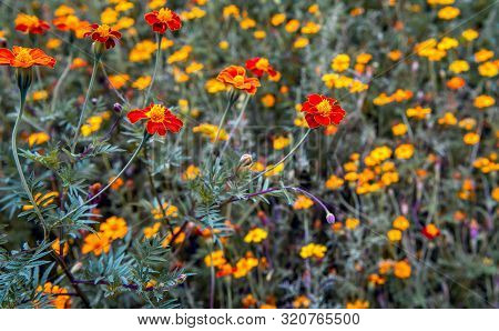 Closeup Of An Orange Blooming French Marigold Or Tagetes Patula Plant In The Foreground Of A Large F