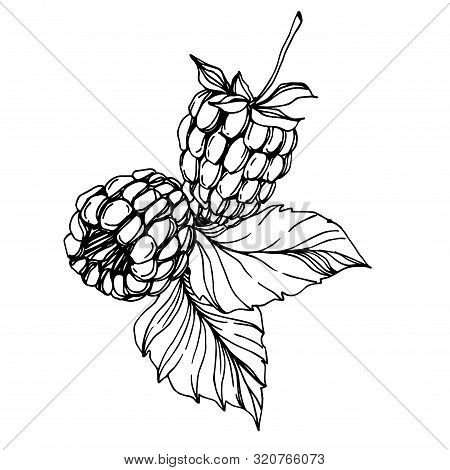 Vector Raspberry Healthy Food Fresh Berry Isolated Element. Black And White Engraved Ink Art.