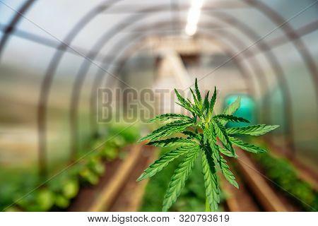 Marijuana Sprout On Farm Cannabis Grows In Plantation Greenhouse. Hemp Leaf At Sunset