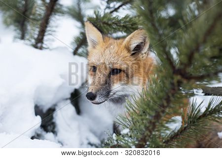 Red Fox Looking Out From Behind Trees. Winter Trees And Fox. Tamed Wild Animal