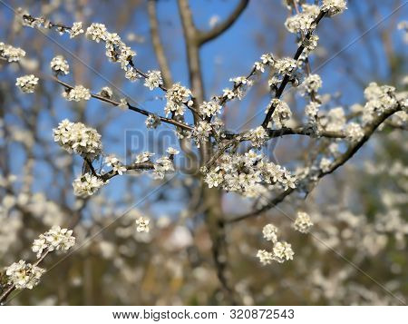 Prunus Spinosa Or Blackthorn Or Sloe
