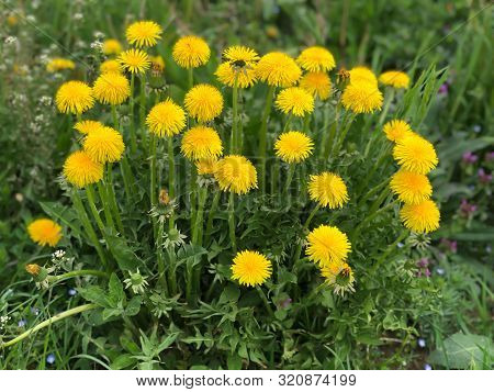 Yellow Dandelions In The Field