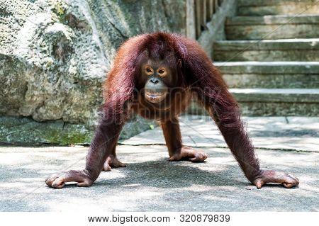 Sumatran Orangutan. Funny Orangutan. Zoo Animals Concept.