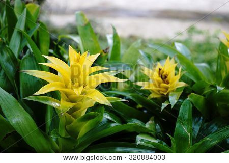 Yellow Bromelias In A Greenhouse Or Flowerbed, Floral, Natural Background, Guzmania Lingulata Flower