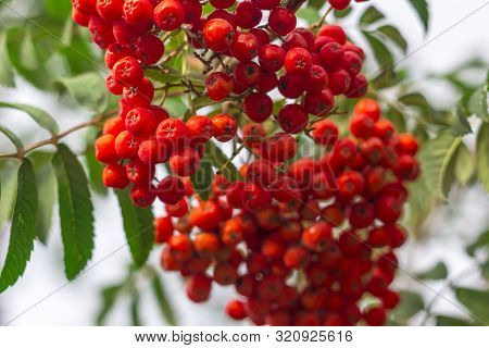 Bunches Of Rowan Berries (mountain Ash) Hanging From A Tree. Autumn Composition. Sorbus Aucuparia.