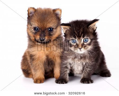 The puppy of the spitz-dog with and  kitten