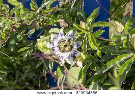 The Blue Passion Flower (passiflora Caerulea) Is A Species Of The Species-rich Genus Of Passion Flow