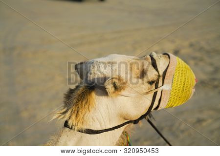 Muzzled Camel Close-up With Yellow Knitted Muzzle.