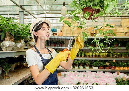 Serious Greenhouse Worker In Rubber Gloves Cutting Hanging Plant With Sharp Scissors
