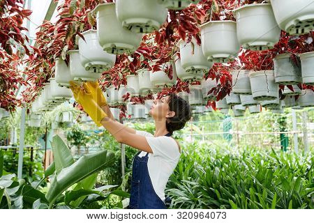 Female Greenhouse Worker Checking Plants Hanging From Ceiling