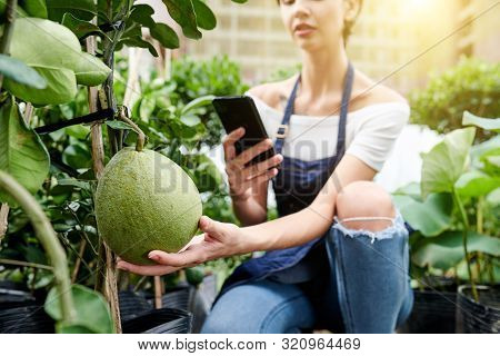 Young Woman Using Smartphone To Take Photo Of Pomelo Growing In Her Garden And Upload It On Social M
