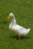 Single white duck standing in the grass poster