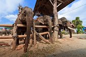 A group of Thai elephants in farm poster