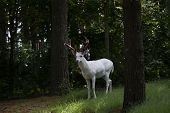 The white-tailed deer, albino (Odocoileus virginianus) on the forest poster