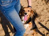 Dog walking on a sand beach. Funny spaniel mutt hugs owners legs in summer day poster
