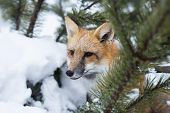 Red fox looking out from behind trees. Winter trees and fox. Tamed wild animal poster