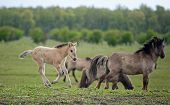 Group of konik horses in rain in spring poster