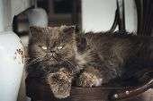 Close up of grumpy cat. Grumpy cat portrait. Close up of grumpy cat on chair. Cat. Nature. Cat napping on chair. Close up of house cat. Grumpy cat napping . Domestic cat. Persian cat. poster