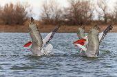 Dalmatian Pelicans (Pelecanus crispus) in the Danube Delta Romania poster