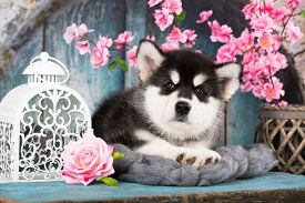 Alaskan Malamute puppy; black and white puppy with long fluffy hair