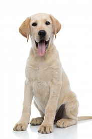 happy young labrador retriever puppy dog siting and panting isolated on white background