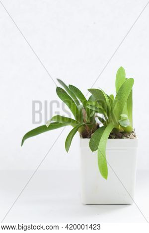 Gasteria Succulent Houseplants On White Background. Green Plant In White Pot
