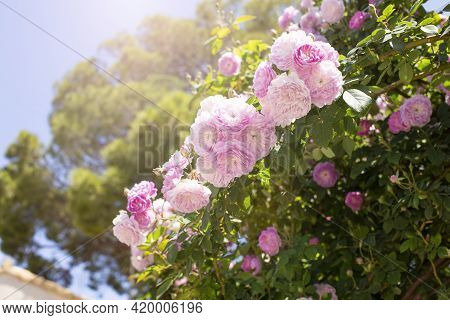 Pink Climbing Rose And Luscious Foliage In The Sun