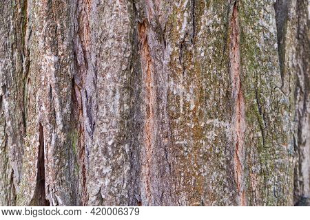 Fragment Of The Old Deciduous Tree Trunk With Rough Bark Overgrown With Lichen, Close-up In Selectiv