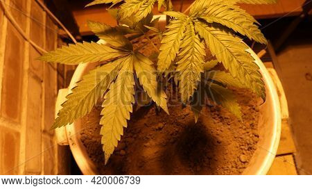 Potted Marijuana Plant In Mid-growth Stage Grown In A Basement Under Artificial Light, Home-grown Ca