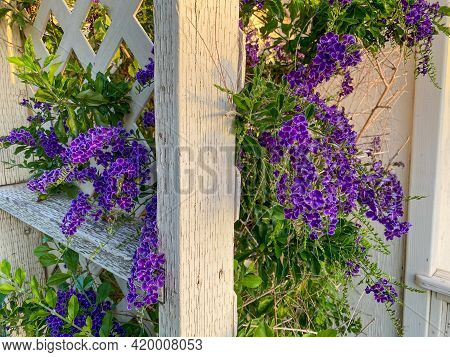 Old Trellis Garden Shed Fence With Lush Purple Blooming Flowers