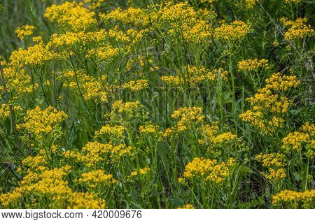 Clusters Of Butterweed Plants Growing Together In A Field Tall Plants With Little Groupings Of Yello